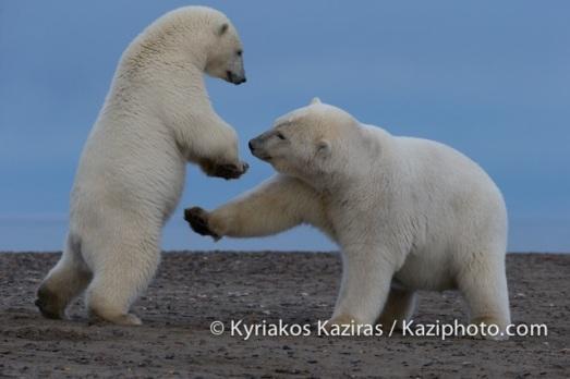 Kyriakos Kaziras Ours Polaire 4