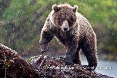 Kyriakos Kaziras- Ourson Alaska